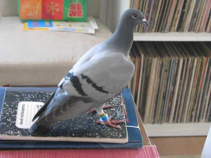 golub-v-okno-zaletel-primeta-k-dobru-li